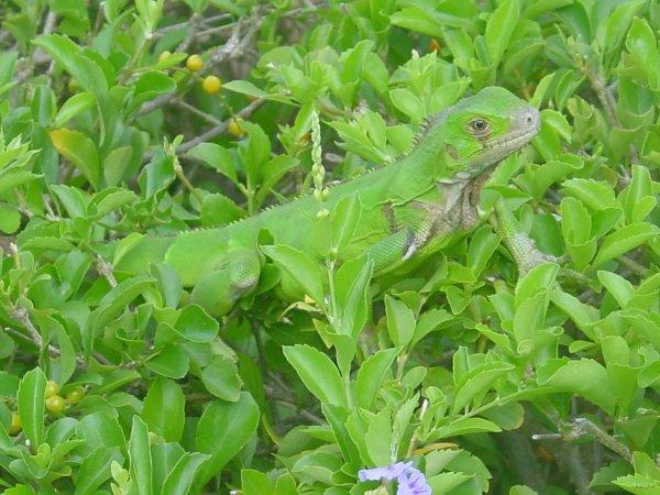 l iguane vert