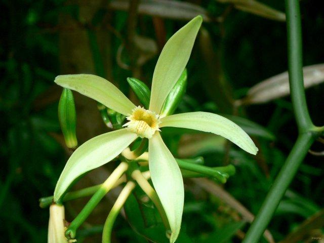 fleur de vanille non polinisee 'vanilla tahitensis'